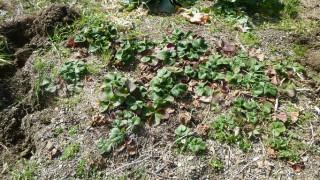 畑に育つ苺の苗