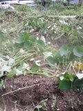 夏に植えたさつま芋