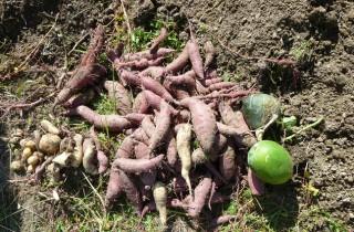 さつま芋Ⅱ、ミニ冬瓜、かぼちゃ収穫