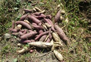 さつま芋収穫Ⅰ