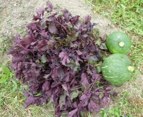 本日の収穫(赤紫蘇とかぼちゃ)
