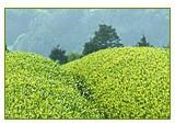 山英さんの茶畑