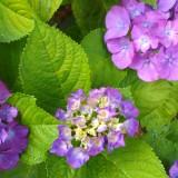 紫陽花3 (2)