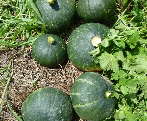 収穫(かぼちゃと紫蘇)